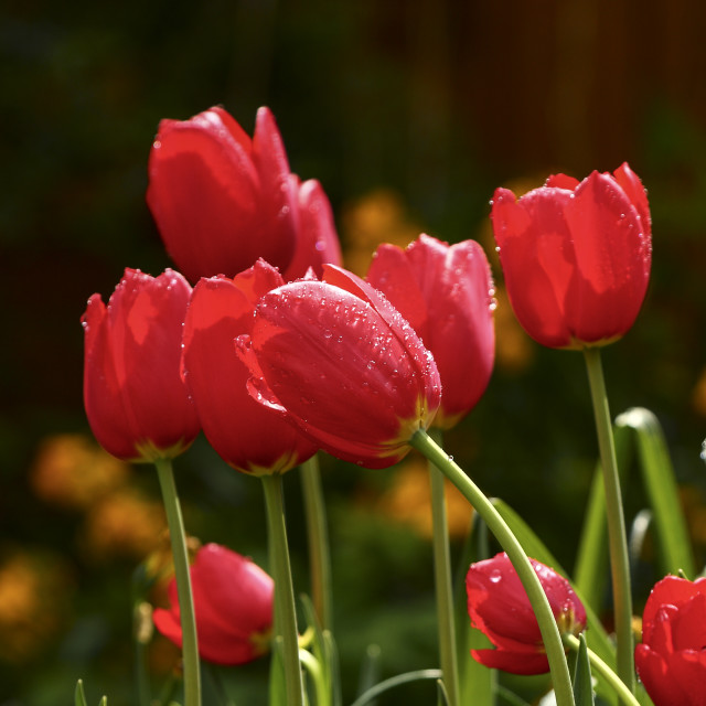 """""""Water drops on tulips"""" stock image"""