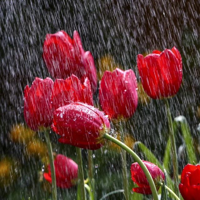 """Watering tulips"" stock image"
