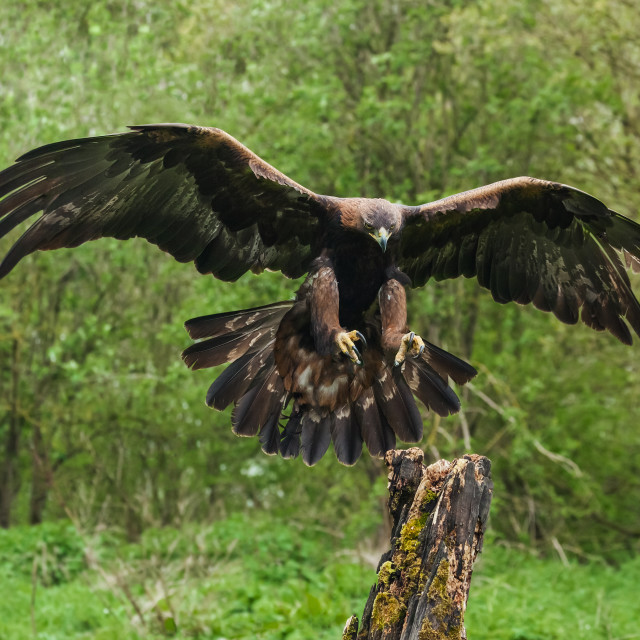 """Golden Eagle about to land"" stock image"