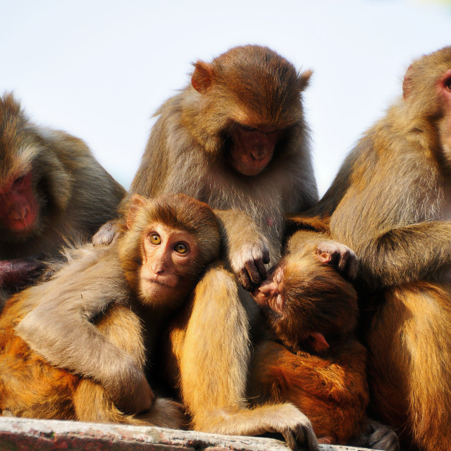 """""""Family of macaque grooming"""" stock image"""