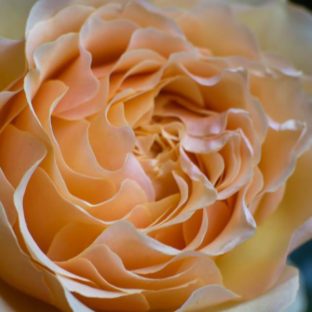 """Rose Blossom"" stock image"