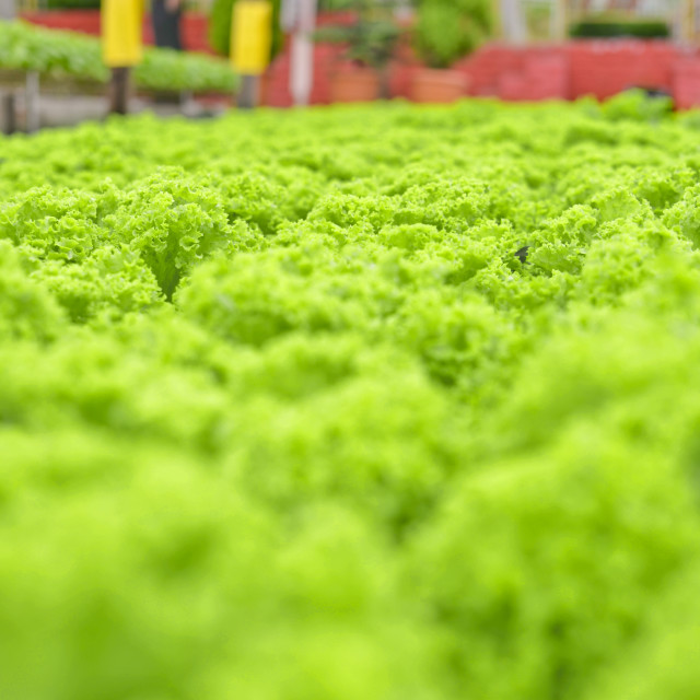 """Cameron Highland, Malaysia - Hydroponics Farm"" stock image"