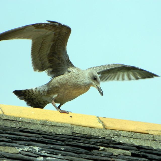 """""""Immature Herring Gull"""" stock image"""
