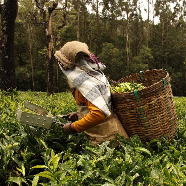 """Tea picker"" stock image"