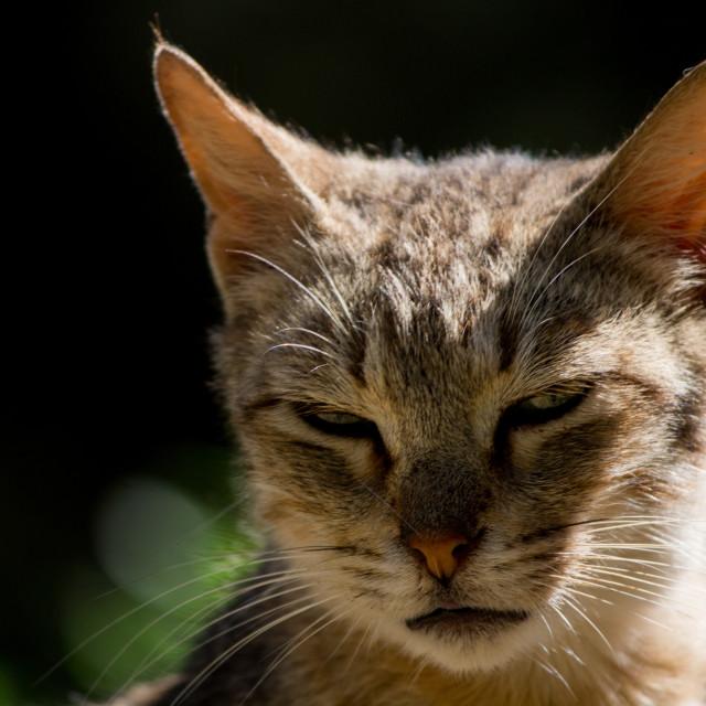 """""""Focused cat"""" stock image"""