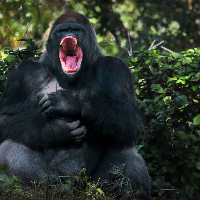 """Yawning Gorilla"" stock image"