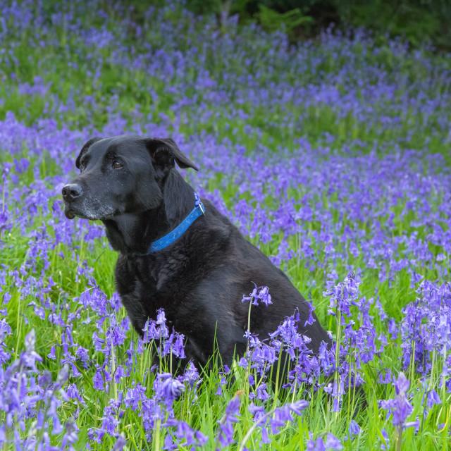 """Black Labrador in Bluebells"" stock image"