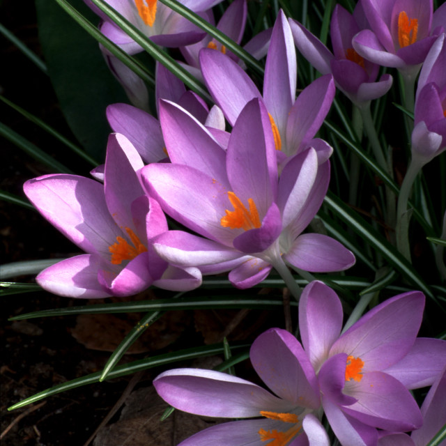 """Beautiful crocus flowers"" stock image"