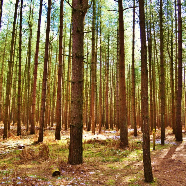 """Pine Forest."" stock image"
