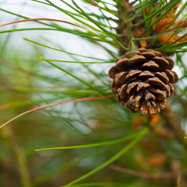 """""""Pinecone"""" stock image"""