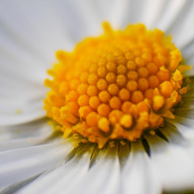 """""""Macro of a daisy"""" stock image"""