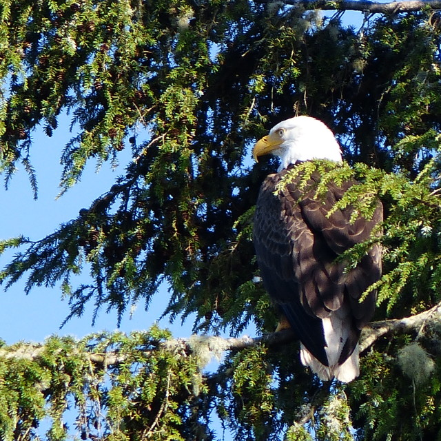 """""""Eagle on perch"""" stock image"""
