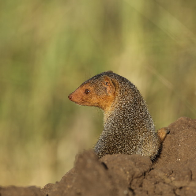 """Startled Mongoose"" stock image"
