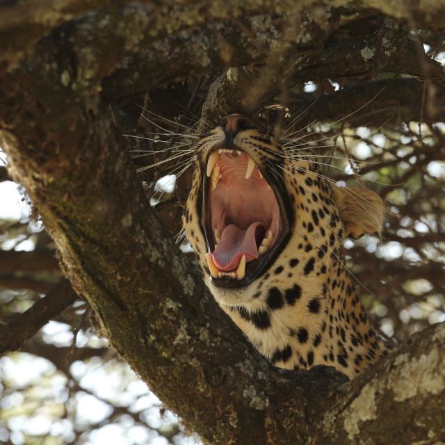 """""""Yawn!"""" stock image"""