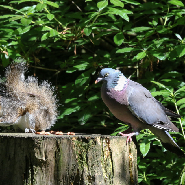 """Squirrel and wood pigeon"" stock image"