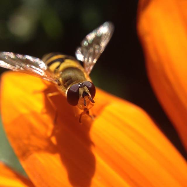 """Hover fly on gazania flower"" stock image"