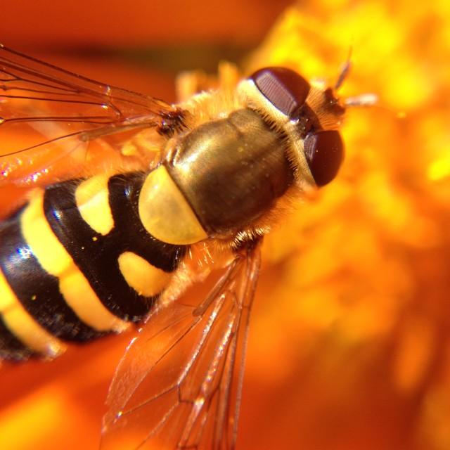 """Hover fly on gazania flower"" stock image"