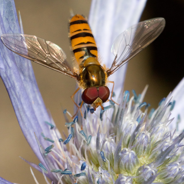 """Hoverfly at rest"" stock image"