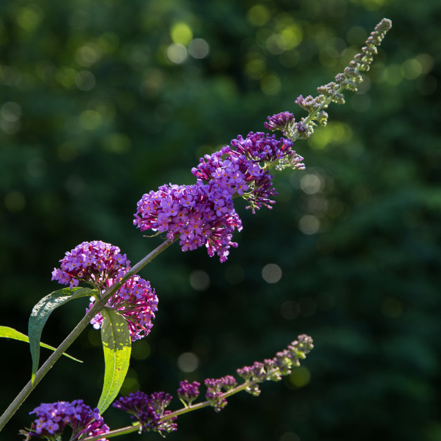 """Butterfly bush"" stock image"