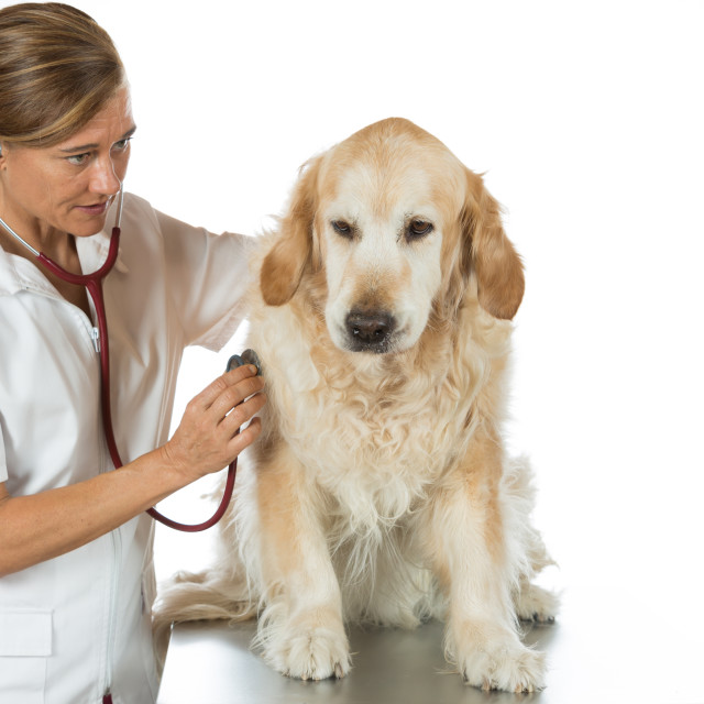 """By listening to a dog Veterinary Golden"" stock image"