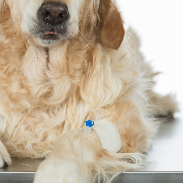 """""""By listening to a dog Veterinary Golden"""" stock image"""