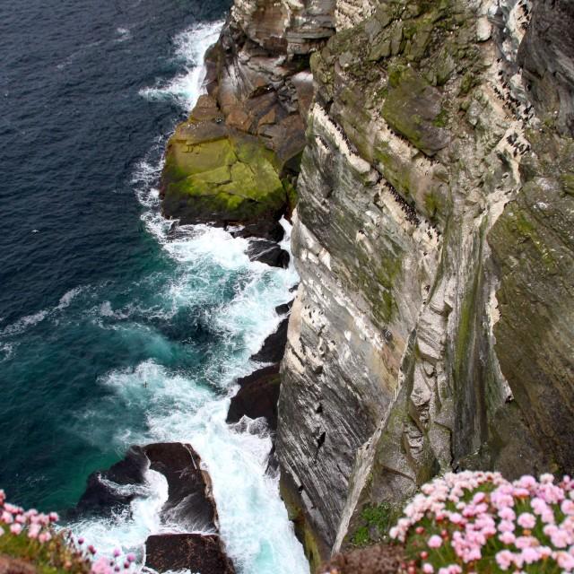 """Scottish sea bird colony"" stock image"