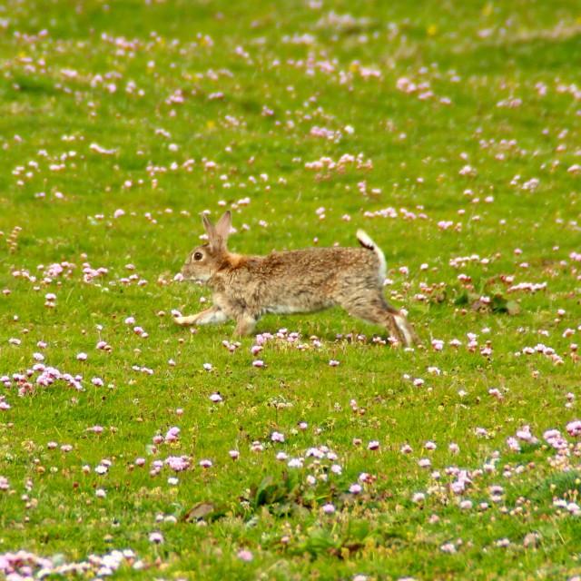 """""""Wild rabbit, Scotland"""" stock image"""