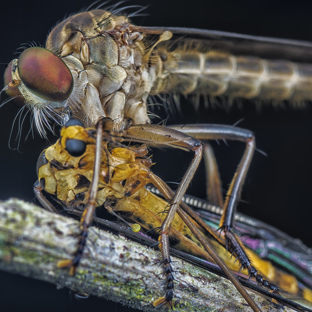 """robberfly"" stock image"