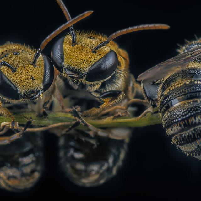"""sweat bees"" stock image"