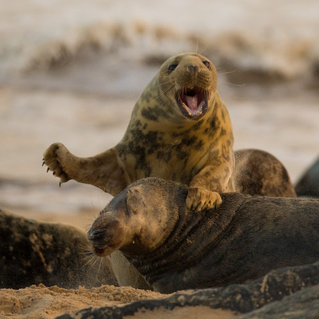 """Grey Seal Fight"" stock image"