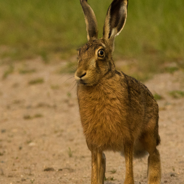 """""""Hare"""" stock image"""