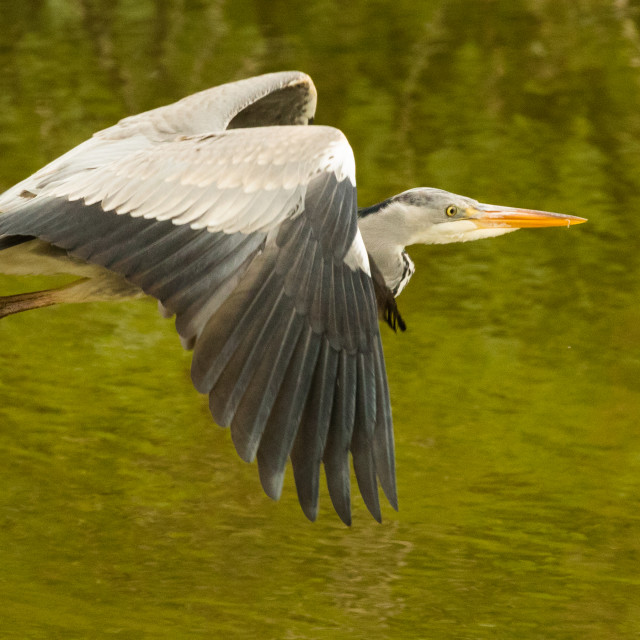 """Heron in Flight"" stock image"