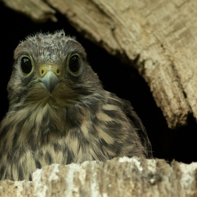 """The Kestrel Chick"" stock image"
