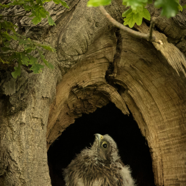 """Kestrel Chick in the nest"" stock image"