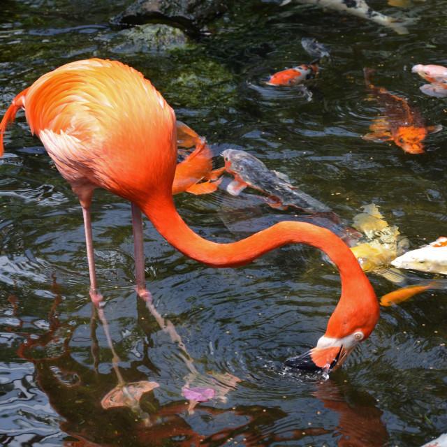 """Flamingo and koi fish"" stock image"