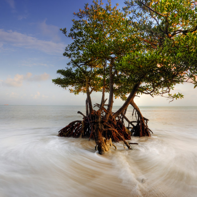 """A mangrove tree at a beach"" stock image"