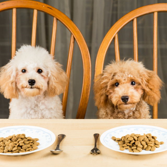 """Two uninterested poodle puppies with their plate of kibbles on the dining table"" stock image"