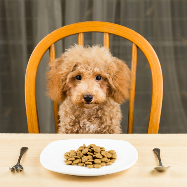 """A bored and uninterested brown Poodle puppy with a plate of kibbles on the dining table"" stock image"
