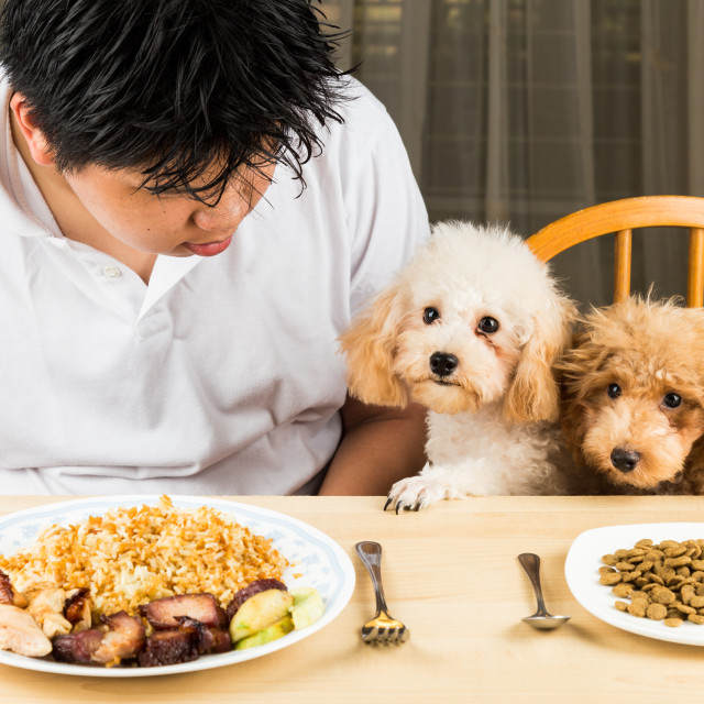 """Puppies eying the plate of rice and meat on a teenager's plate and show no interest on her plate of kibbles"" stock image"