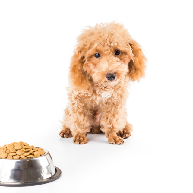 """A skinny poodle puppy next to her bowl of kibbles"" stock image"