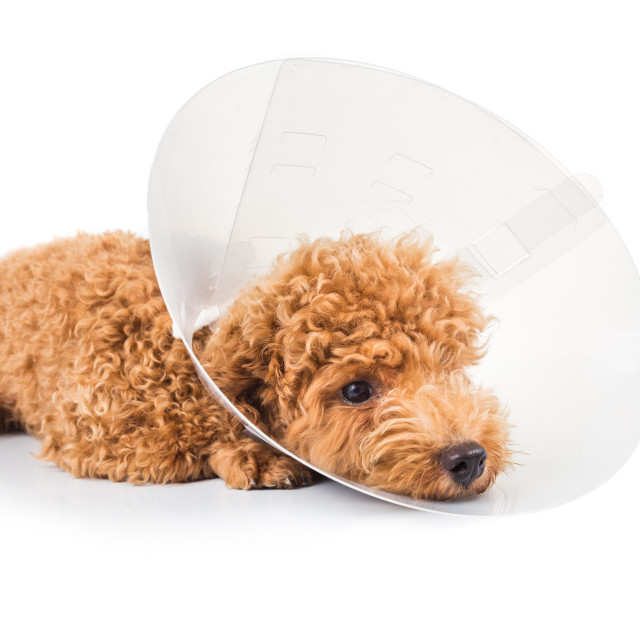"""Sad poodle dog wearing protective cone collar on her neck"" stock image"