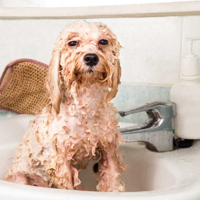 """Wet poodle puppy taking bath on wash basin"" stock image"