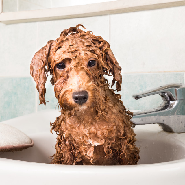 """""""Wet poodle puppy taking bath on wash basin"""" stock image"""