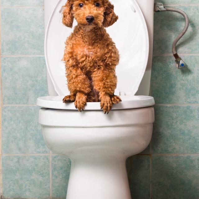 dog toilet seat training