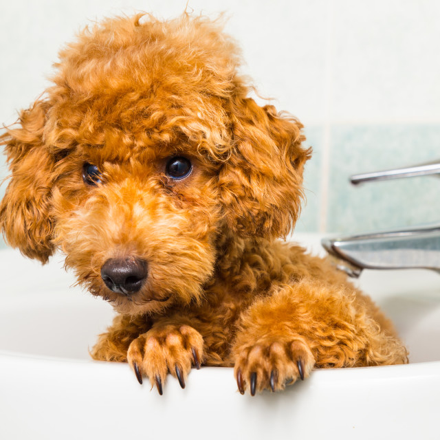 """Curious brown poodle puppy getting ready for bath in basin"" stock image"