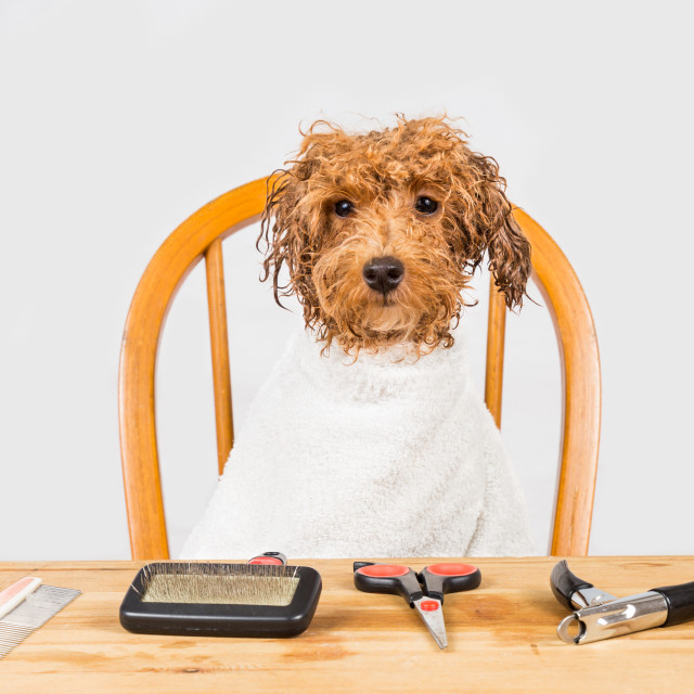 """Concept of wet brown poodle dog seated after shower ready to be groomed in salon"" stock image"