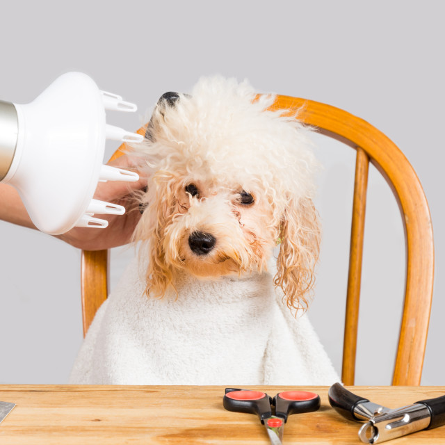"""Concept of wet poodle dog fur being blown dry and groom after shower at salon"" stock image"