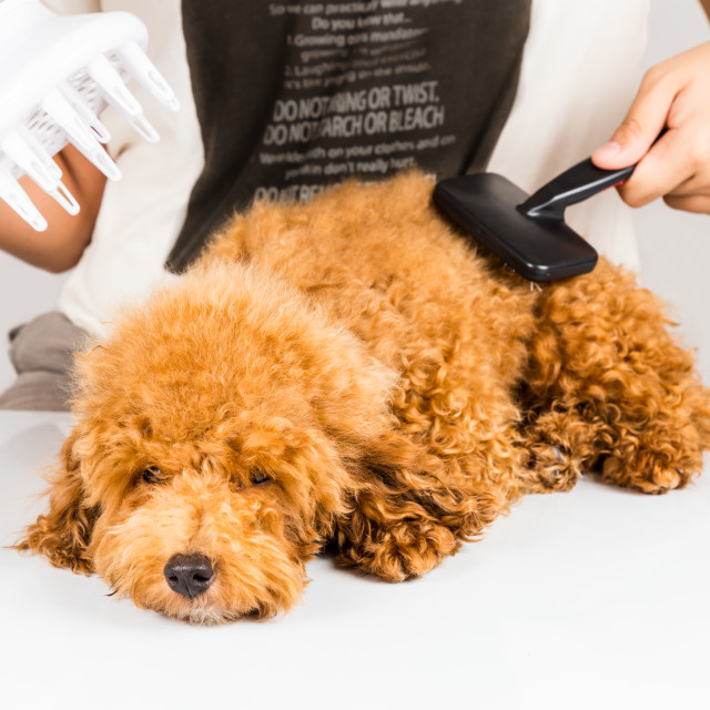 """Wet poodle dog fur being blown dry and groom after shower at salon"" stock image"
