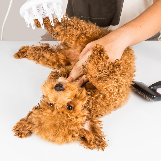 """""""Wet poodle dog fur being blown dry and groom after shower at salon"""" stock image"""