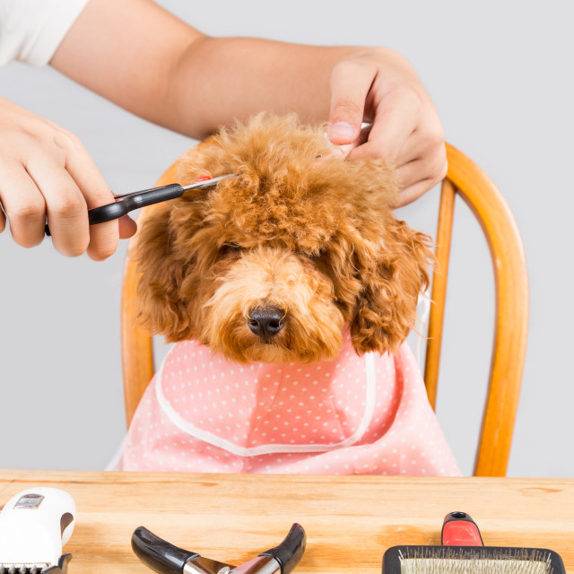 """Concept of poodle dog fur being cut and groomed in salon"" stock image"